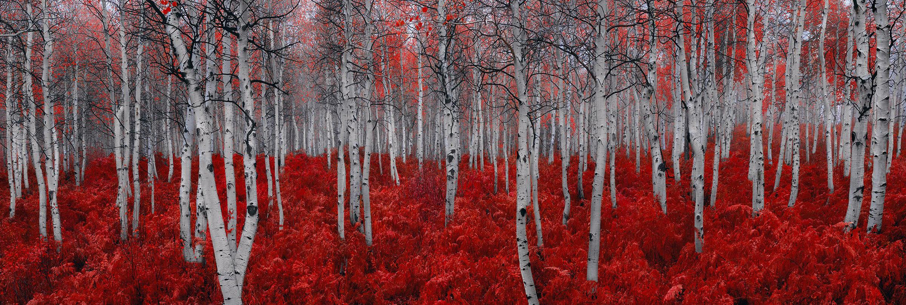White forest of birch trees with red leaves surrounded by red plants in Deer Valley Utah