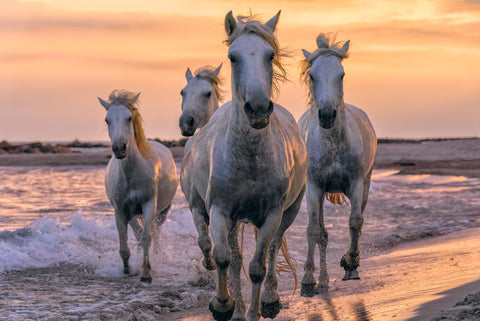 Four white horses running along the beach in Camargue France at sunset