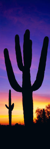 Cactus silhouettes during the sunset in the desert of Saguaro National Park Arizona