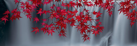 Wet red maple leaves hanging in front of a white and grey waterfall in Washington