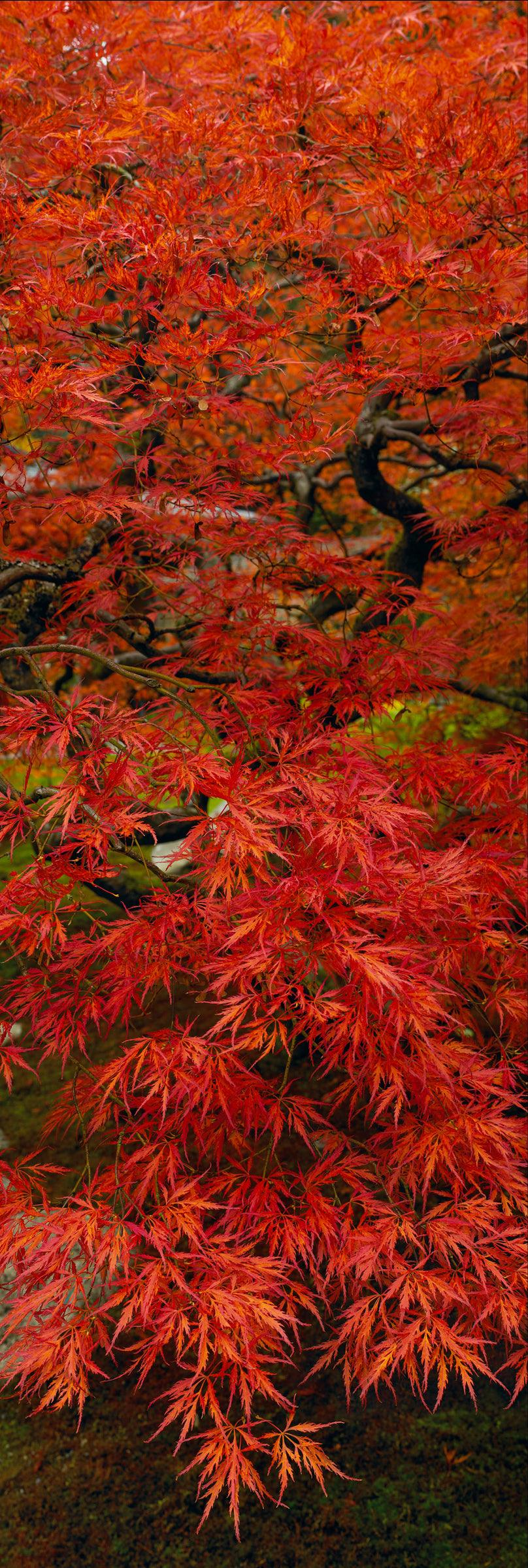 Red leaves and black branches of a Japanese Maple tree reaching over the moss covered ground in Oregon