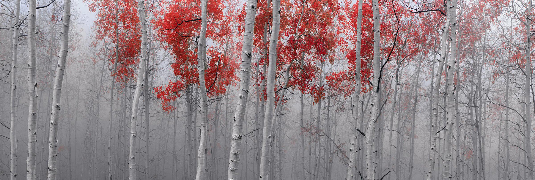 Misty white birch tree forest covered in red leaves in Deer Valley Utah