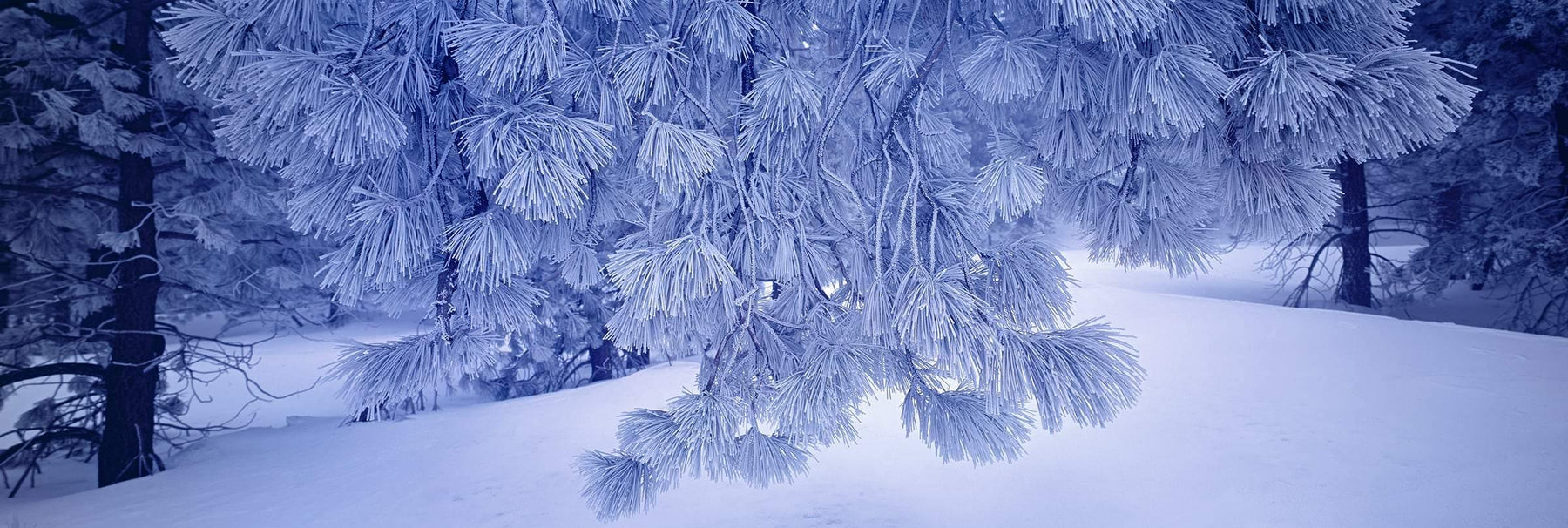 Frost covered branch of pine needles reaching over the snow covered forest floor at Mount Pinos California