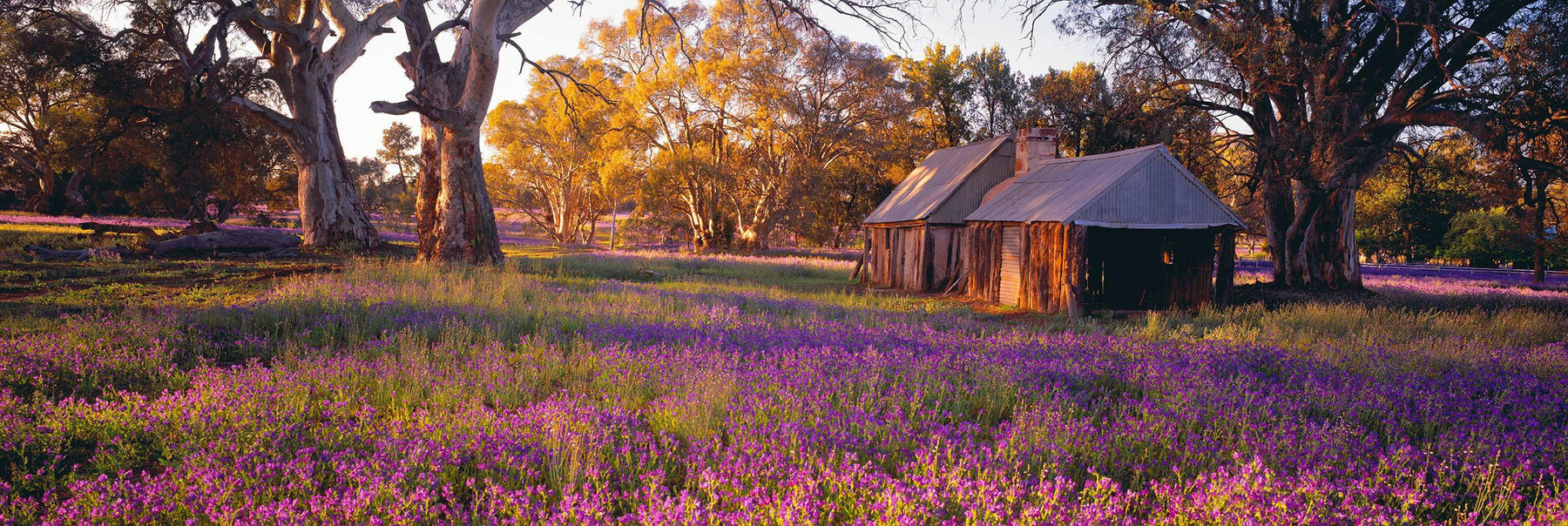 Old wooden shack in Wilpena Pound Australia surrounded by large gum trees and purple flower fields
