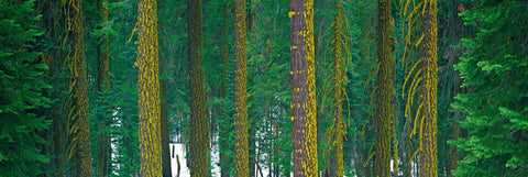 Moss covered pine tree trunks in the snow covered forest of Kings Canyon National Park California