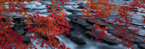 Branches covered in red maple leaves reaching over a black rocky river in Japan