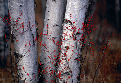 Close up of the base of Silver Birch trunks surrounded by small branches with red berries