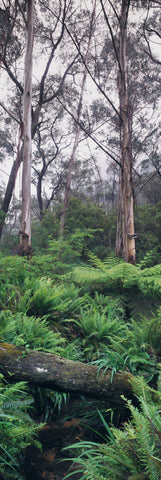 Silver Gum trees in a fern filled rainforest of Blue Mountains National Park Australia
