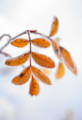 Close up of orange leaves on a branch covered with snow crystals in Acadia National Park Maine
