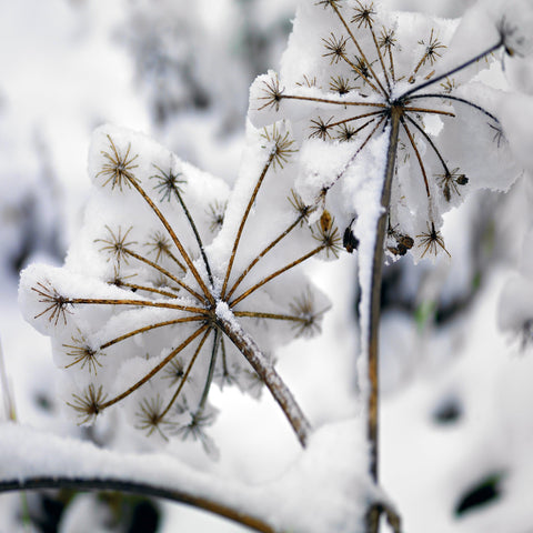 Close up of branches with snow covered flower petal stems in Colorado