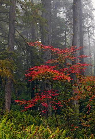 Mist covered Red Wood Forest of Sandy Oregon with ferns and Autumn colored trees in the foreground