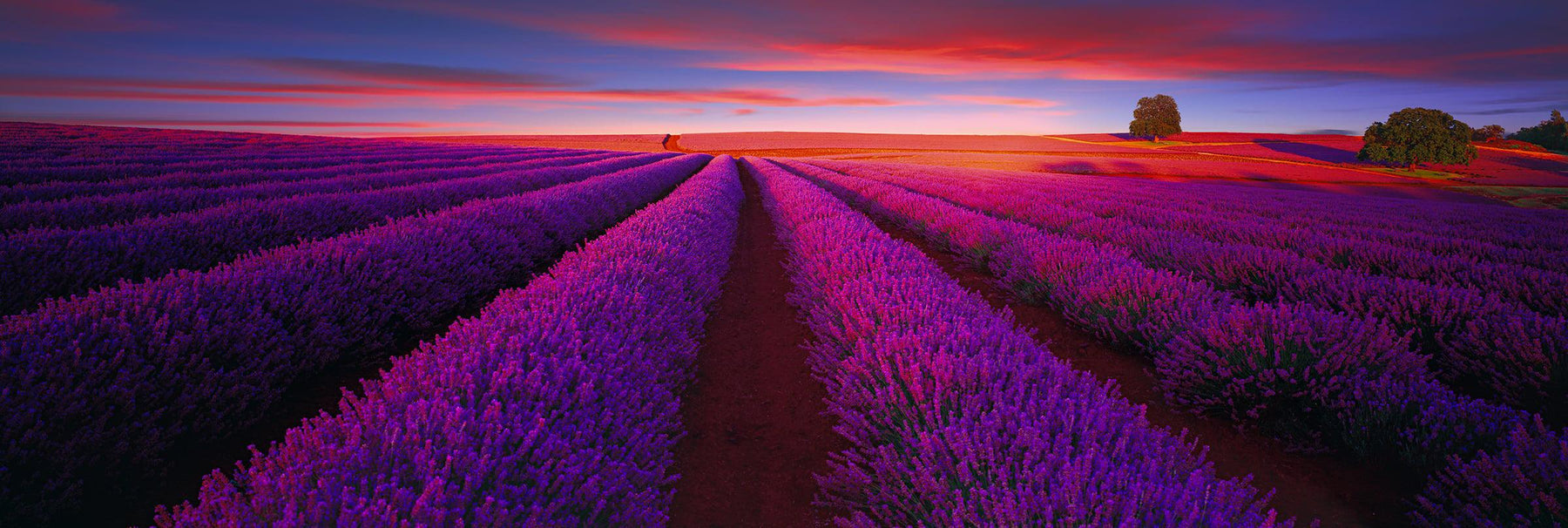 Sun shining over fields filled with rows of lavender bushes and two trees in Nabowla Australia