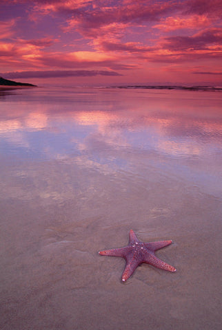 Pink starfish on the wet sandy beach at Fraser Island, Australia under a pink and purple sky