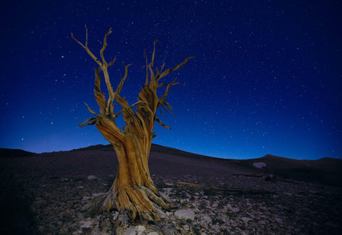 Old leafless bristlecone tree on a rocky hillside at night with a sky full of stars in White Mountains California