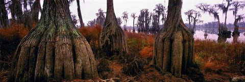 Root bases of giant cypress trees in the swamps of Okefenokee National Wildlife Refuge Georgia