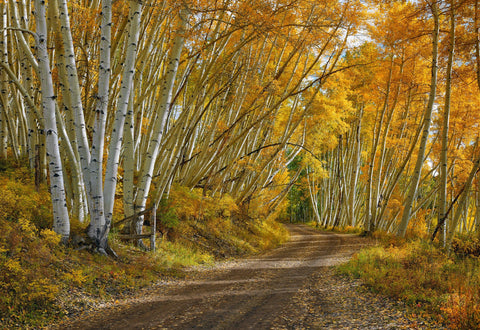 Dirt road leading through a white birch tree forest with yellow and orange leaves in Telluride Colorado