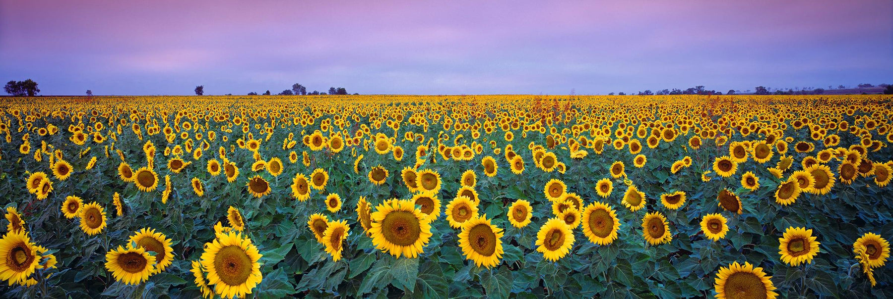 Sunflowers by Peter Lik is a landscape photograph of a field of sunflowers in Queensland Australia during a sunset