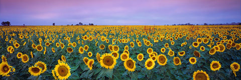 Field of sunflowers under a purple sky in Queensland Australia during a sunset
