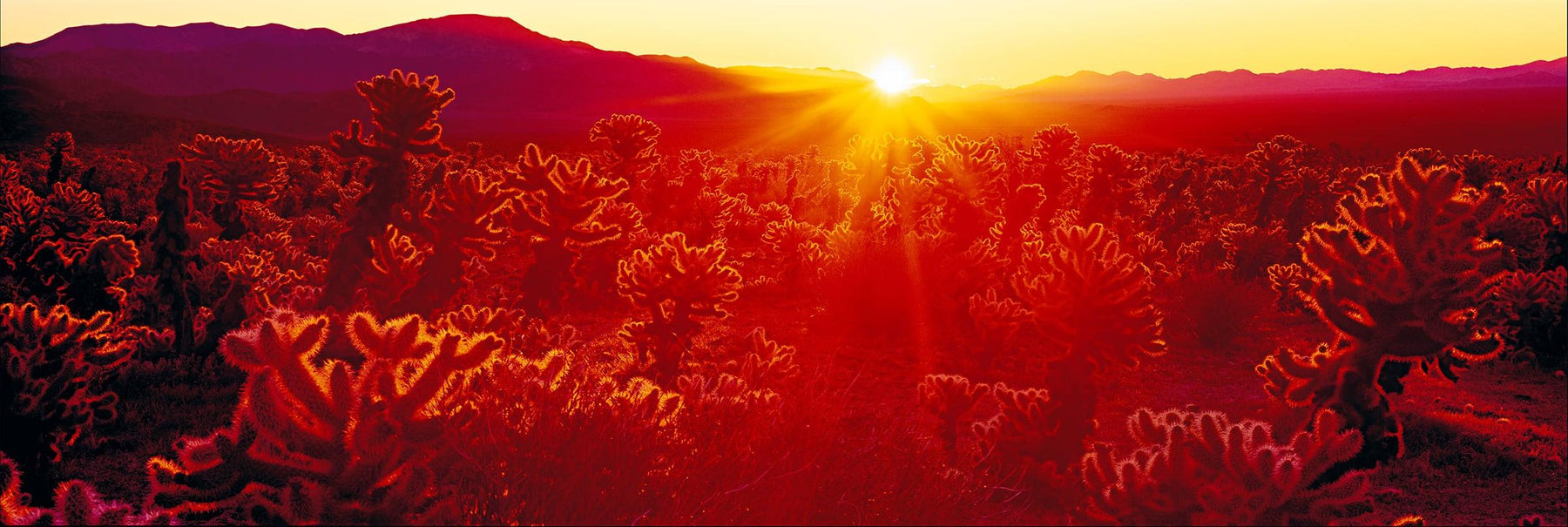 The sun shining on the Joshua tree filled desert of Joshua Tree National Park California as it rises over the mountains