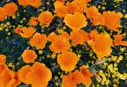Close up of an orange poppy field with yellow daisies in Antelope Valley Poppy Reserve California