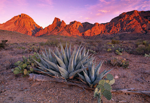 Cactus and aloe plant filled desert below the rock hills on Big Bend National Park Texas