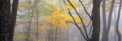 Misty Autumn forest of black trees in Mammoth Cave National Park Kentucky