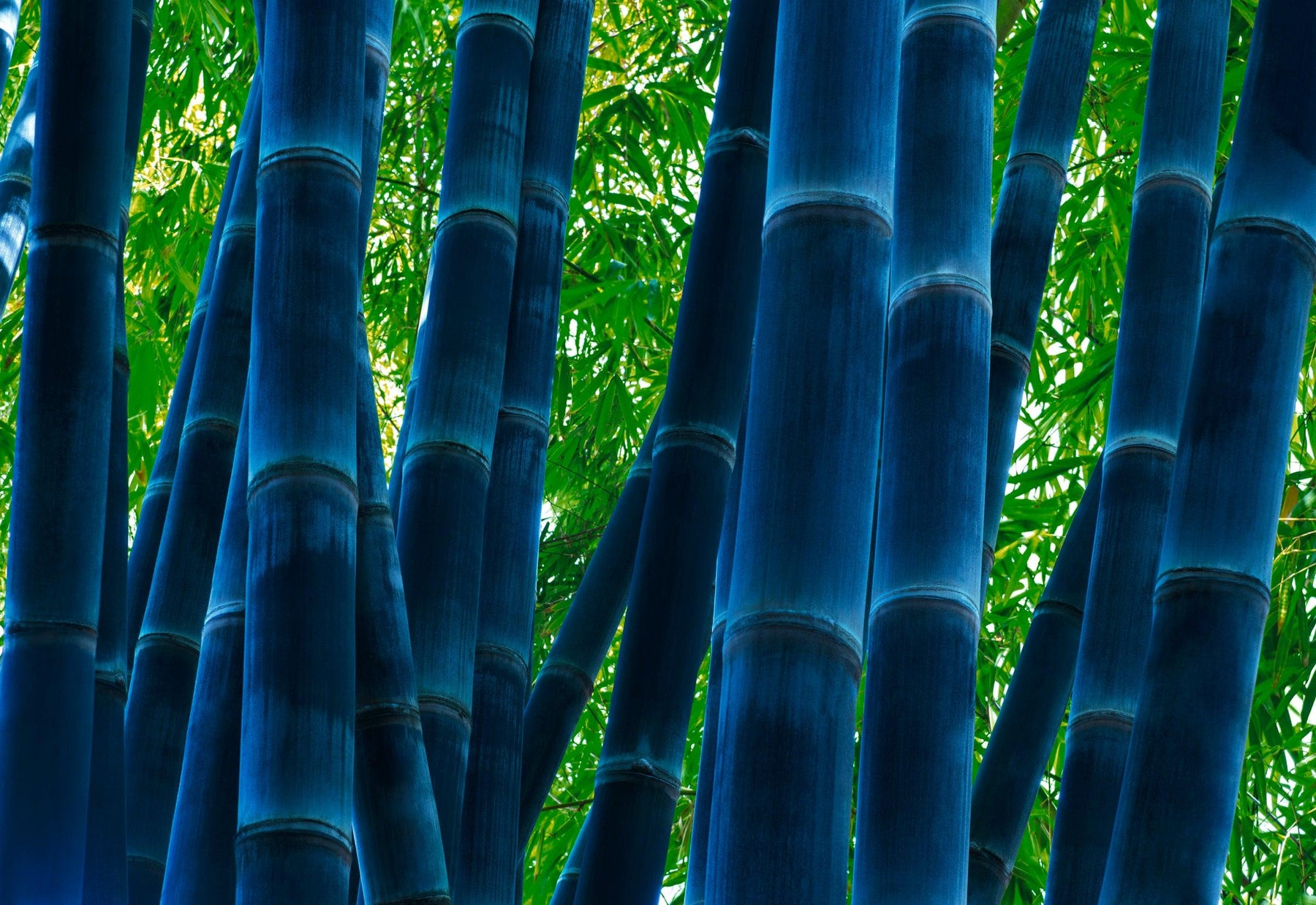 Close up of a blue bamboo forest and green leaves in Maui Hawaii