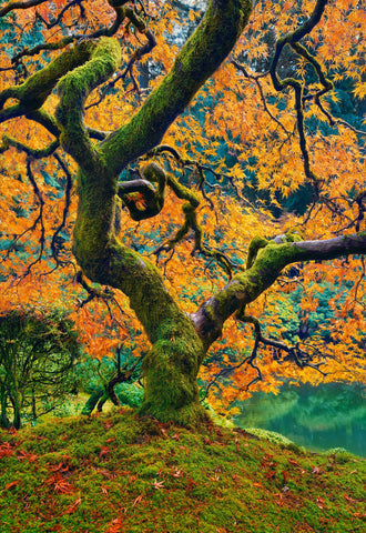 Close up of the trunk and branches of a Japanese Maple tree filled with orange leaves on a mossy hill