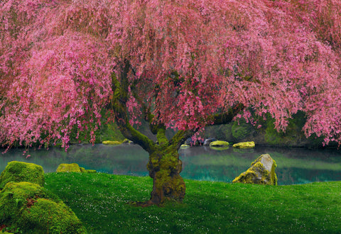 Bright pink weeping cherry tree hill in full bloom sitting on a grass in front of a pond in Washington