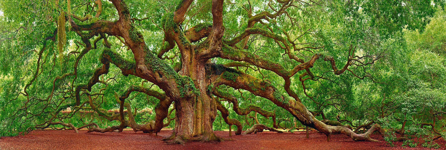 Giant Oak tree covered with ivy being held by wood posts in Charleston South Carolina