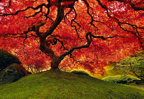 Red leaf Japanese Maple tree on a grass hill near a pond in Oregon