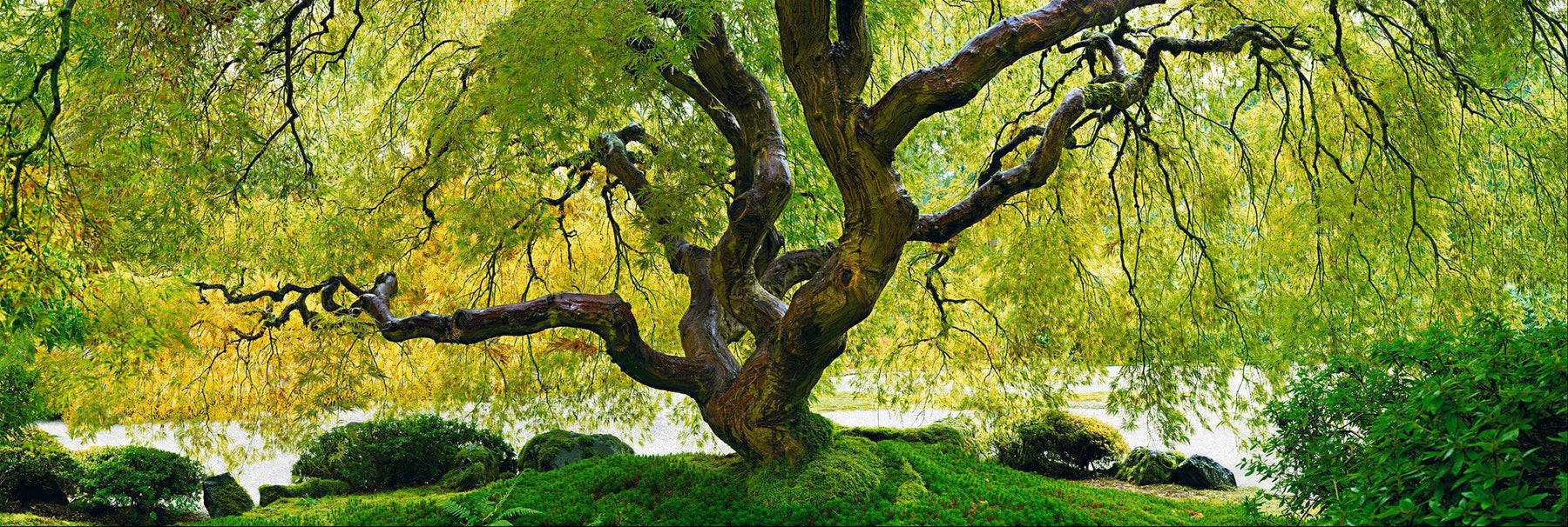 Japanese Maple tree filled with green and yellow leaves on a moss covered hill in Oregon