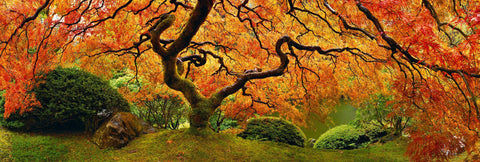 Japanese Maple tree filled with orange and red leaves in front of a pond in Oregon