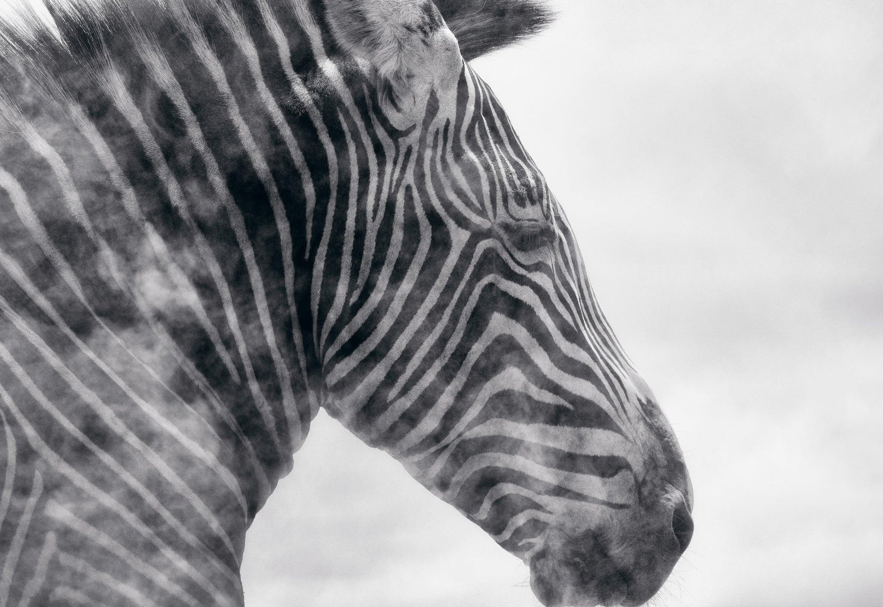 Black and white close up of a zebra head surrounded by a dust cloud