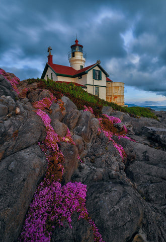 Pink flowers growing in the rocky shoreline of California with Battery Point Lighthouse in the background