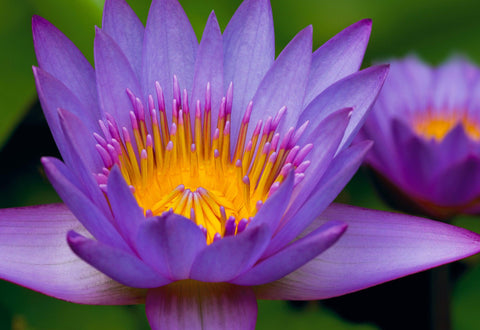 Close up of a purple and yellow water lily in Maui Hawaii