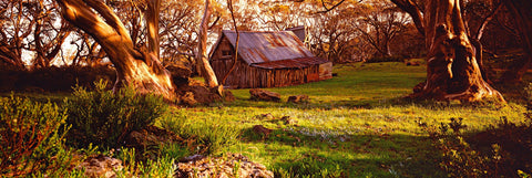 Old shack and forest of snow gum trees in the Australian high country