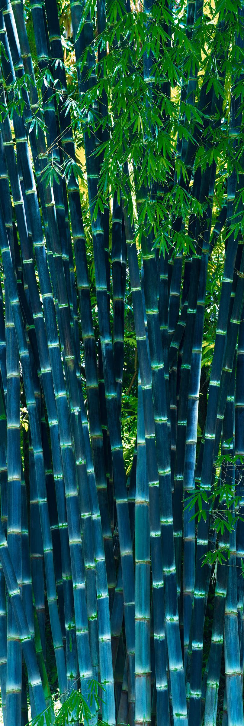 Section of tall blue bamboo in a tropical forest in Maui Hawaii