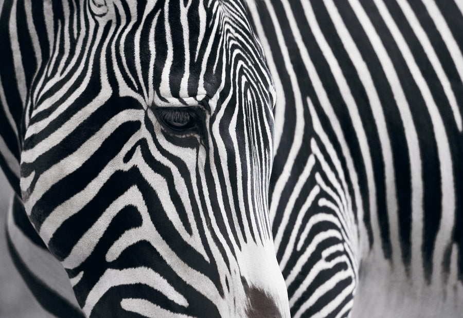 Black and white close up of the face and side of a Zebra