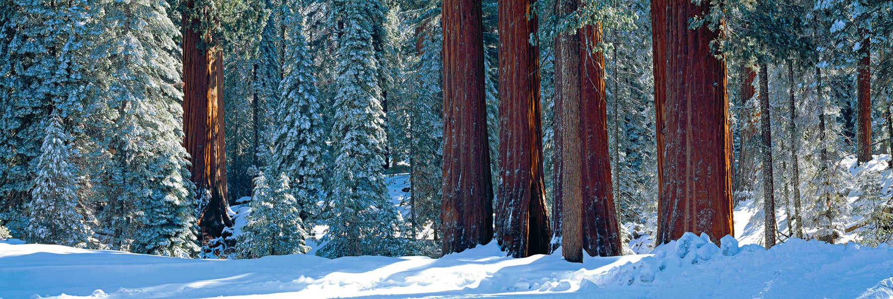 Bases of the snow covered Giant Sequoia trees in the Sequoia National Forest California