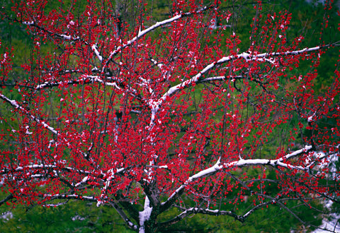 Close up of a red berry tree covered with snow in a green field in Niagara Falls New York