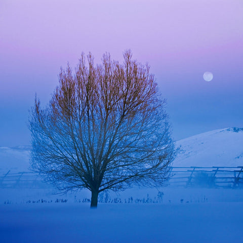 Full moon in the distance behind a leafless lone tree in a snow covered field in Jackson Hole Wyoming