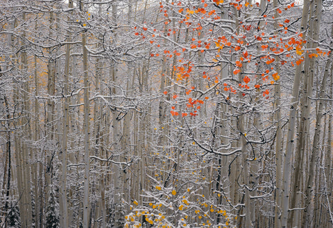 Snow covered birch tree forest with yellow and orange leaves in Aspen Colorado