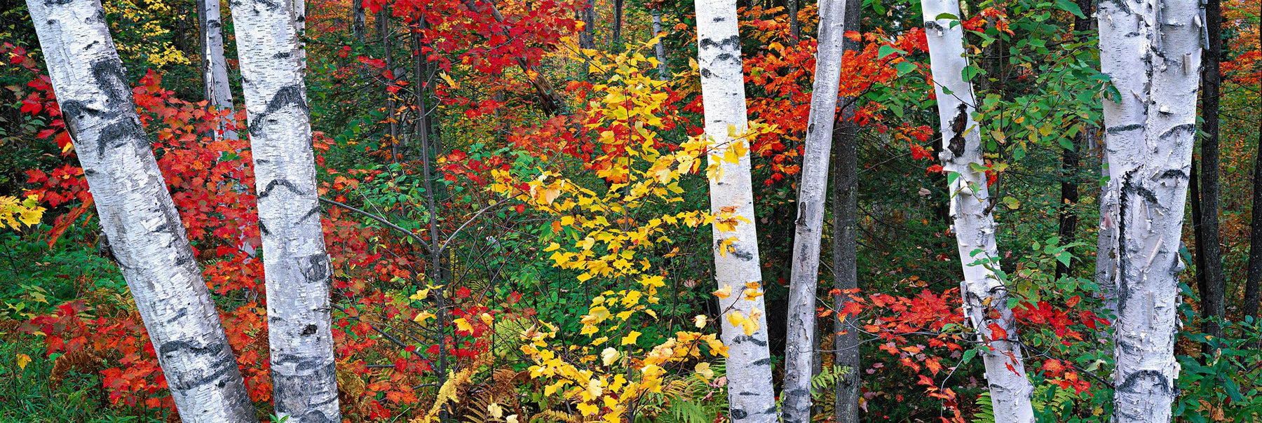 White birch trees surrounded by a forest of Autumn colors in New Hampshire