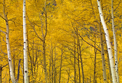 Forest of white birch trees covered with yellow leaves in Aspen Colorado