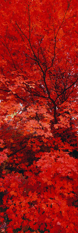 Black branches covered with red leaves from a forest in Ogden Valley Utah