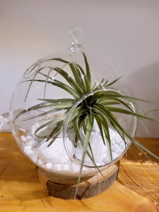 Airplant - White Rock