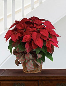 Grand sizes poinsettia (one size)