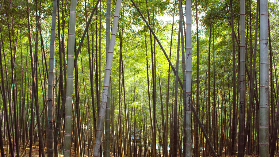Bamboo: The Clean, Strong, Sustainable Wood...That Isn't Even Wood