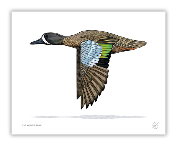 Blue Winged Teal Print